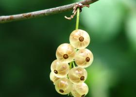 currant-immature-bush-berry-54332