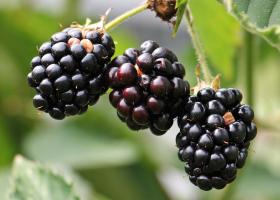blackberries-bramble-berries-bush-134581